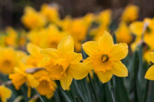 yellow daffodils in selective focus photography