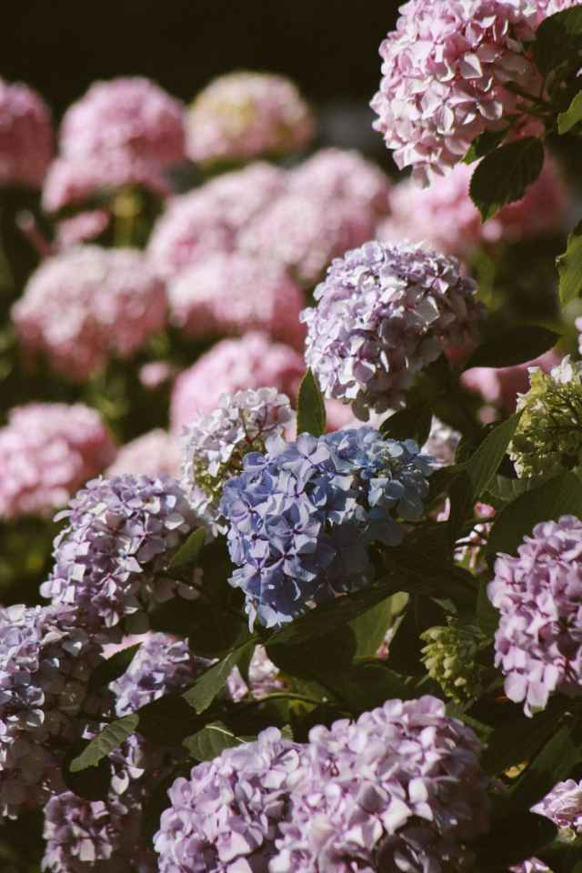 bed of hydrangeas flowers