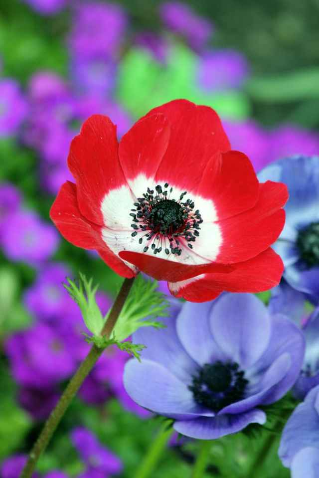 red and white petaled flower beside purple petaleed flower