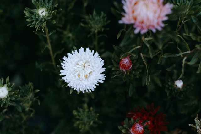 white and pink chrysanthemums closeup photography